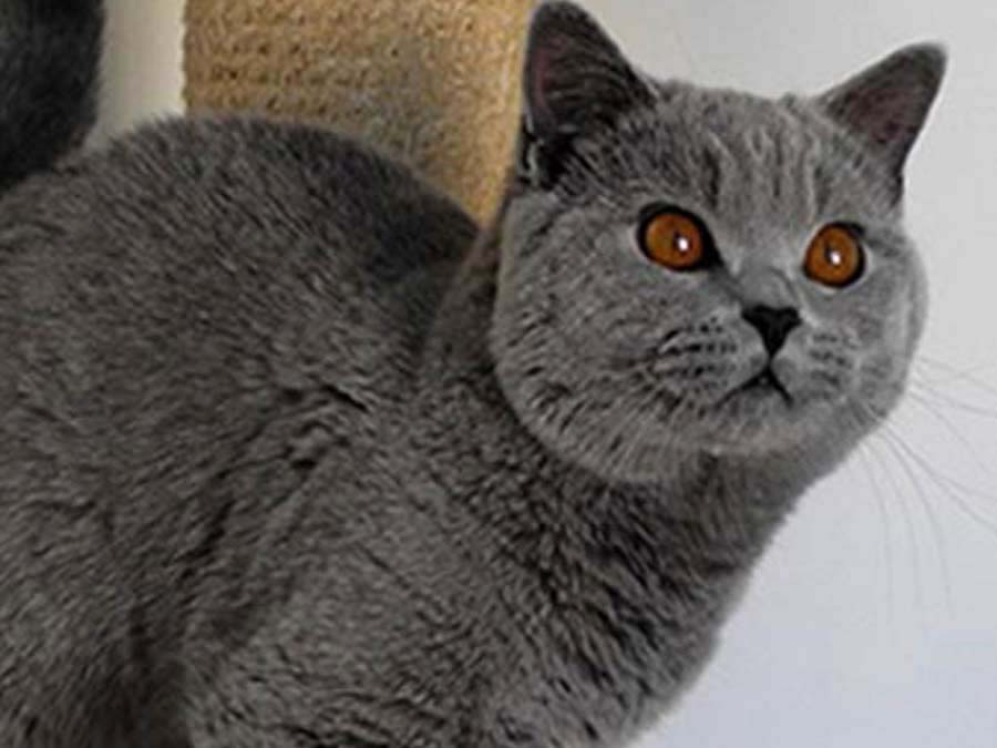 brandon british shorthair bleu 900x675