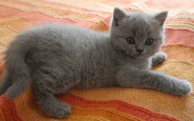 Les Conditions D Adoption De Nos Chatons British Shorthair Joliesse British