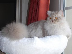 hercule-british-longhair-cinnamon-silver-tabby